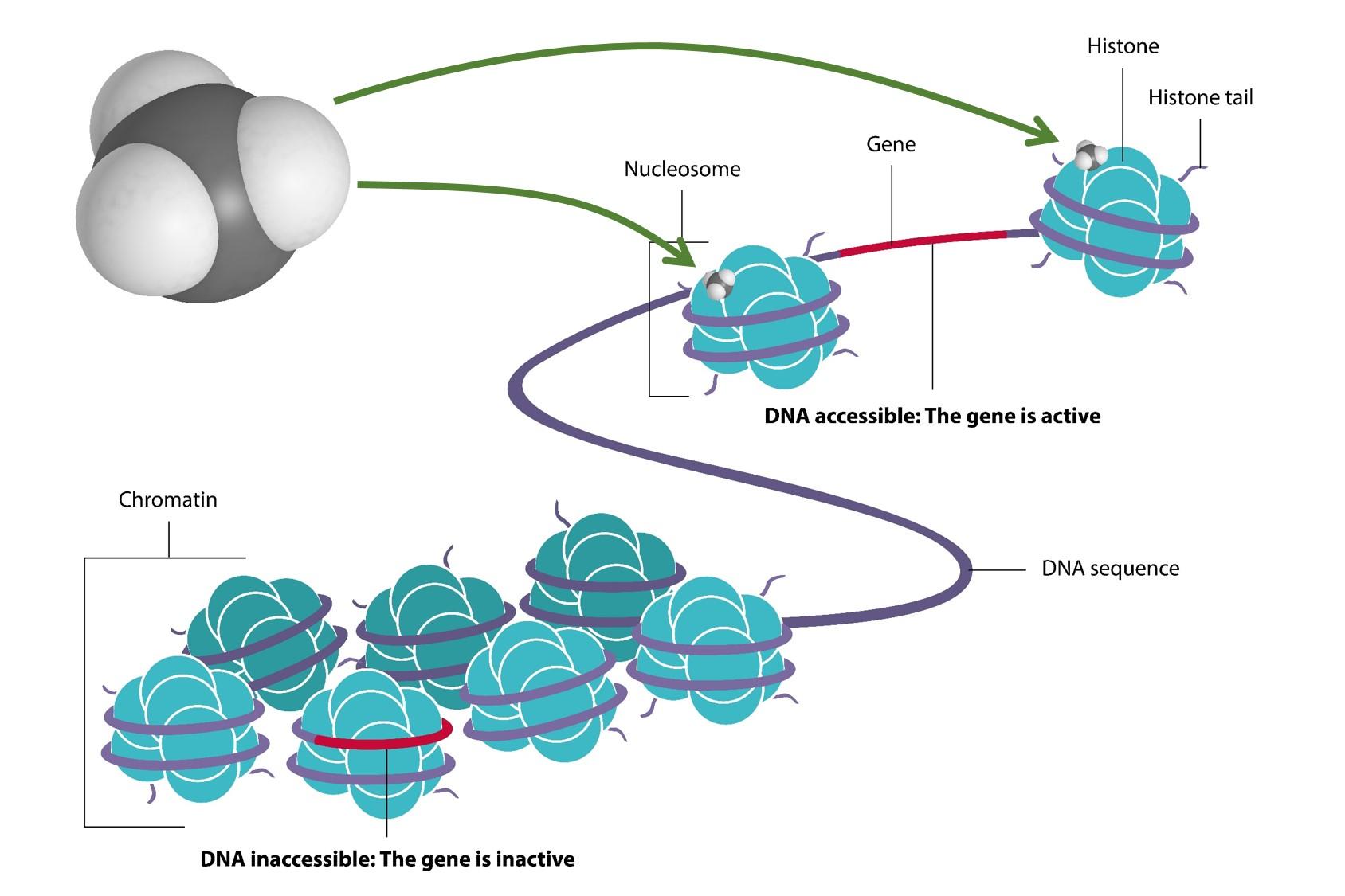 (Epi)genetik
